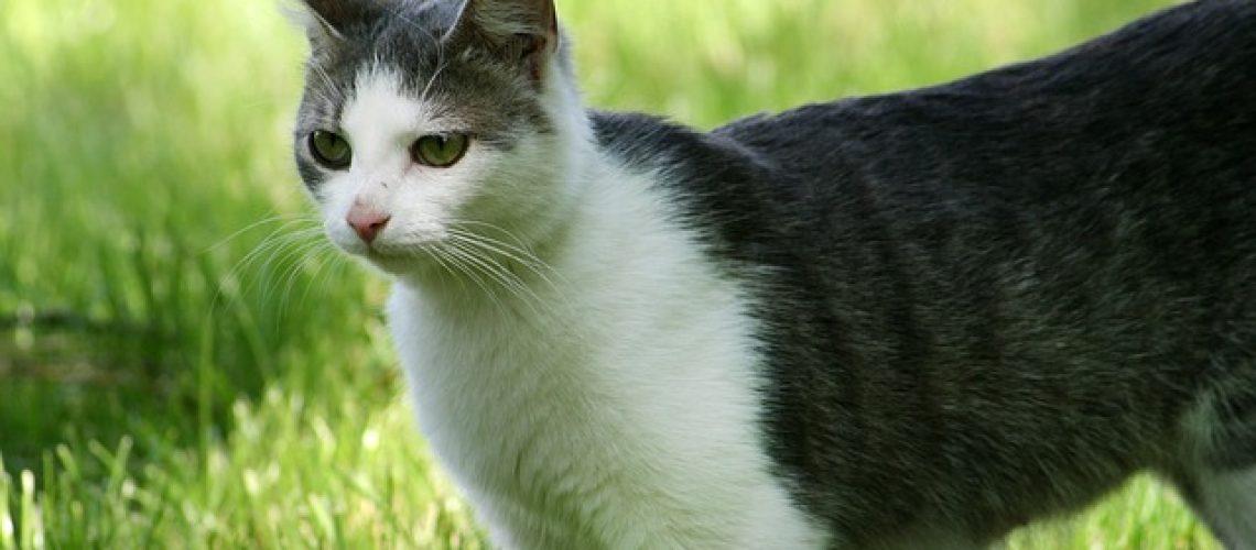 אקאנה לחתולים